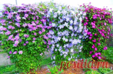 Подкормка клематиса для обильного цветения