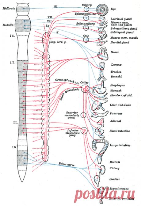 Вегетативная нервная система — Википедия
