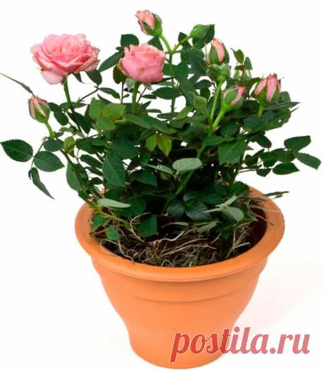 How to implant a rose from a bouquet in a pot