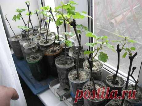 Проращивание черенков винограда в домашних условиях, подготовка черенков к проращиванию