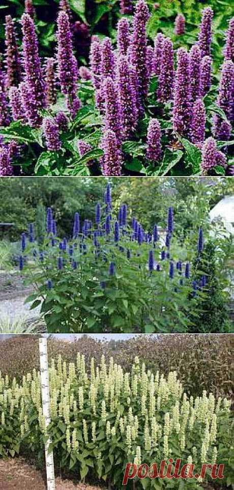 Лофант анисовый, выращивание и применение | Дача - впрок