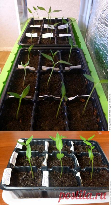 Как выдержать рассаду без полива две недели и не засушить - Интересный блог