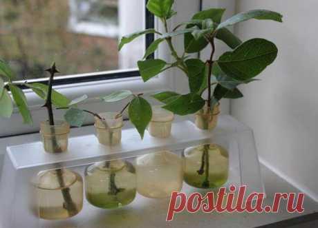 Размножение роз черенками Выращивание роз из черенков – это простой и эффективный способ размножения цветков. В этой статье можно найти необходимые рекомендации по черенкованию роз.