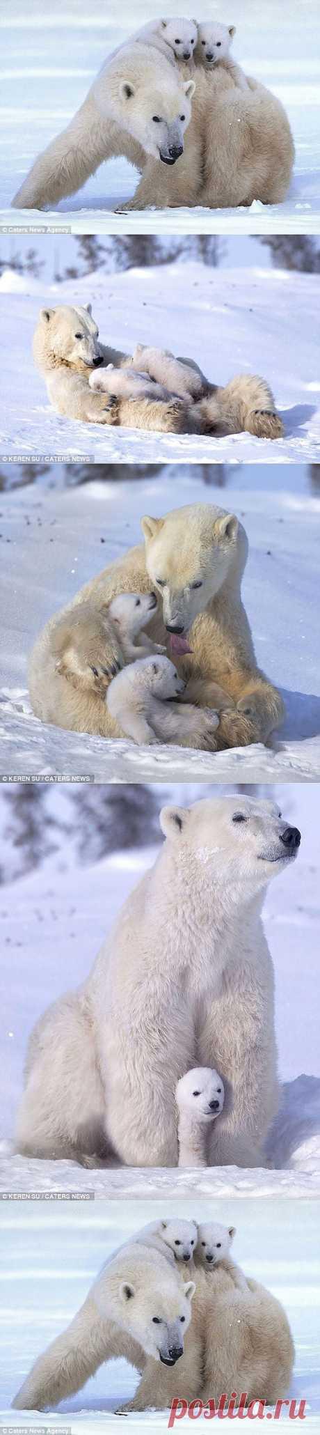 Белые мишки - семейные сценки).