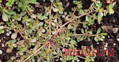 Портулак огородный: лечебные свойства  Это не сорняк – а укрепляющее здоровье чудо-растение! Портулак, который большинство людей принимают за обычный сорняк, на самом деле, является продуктом, который укрепляет здоровье. Портулак или ''Po…