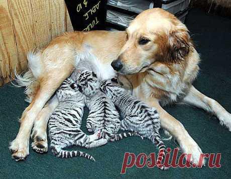 мама белых тигров