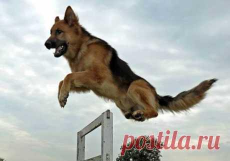 Иногда собака прыгает - высоко и далеко