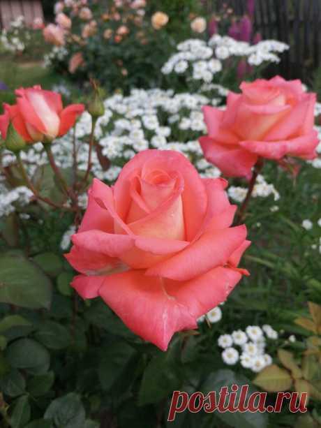 Осенняя посадка роз. Мой опыт. Плюсы и минусы | Записки розовода-любителя | Яндекс Дзен