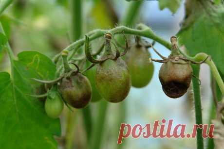 Я не видела фитофторы на помидорах 7 лет! | V огороде | Яндекс Дзен