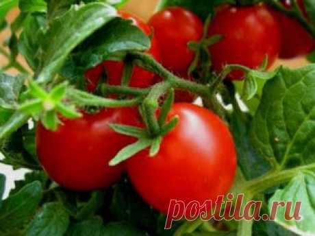 Лучшие комплексные минеральные удобрения для томатов