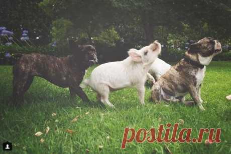 Очаровательная свинка Олива, которая думает, что она собака - koffboy.com