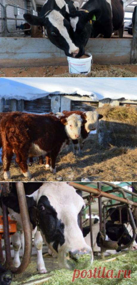 Повышение мясной продуктивности бычков минеральными микродобавками - БиоКорова