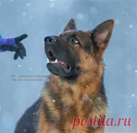 Контакт глазами за Пять секунд!  Название навыка, который используется в очень многих профессиональных методиках дрессировки собак и даже является базой, на котором строится упражнения...
