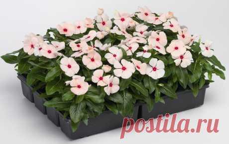 Комнатные растения, которые я не куплю   Домадил - domadeaL.ru   Пульс Mail.ru Я решила затронуть весьма щепетильную тему и обсудить с вами комнатные растения, которые иметь у …