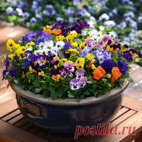 Фиалка: приметы и суеверия, значение цветка, можно ли выращивать фиалки дома . Милая Я