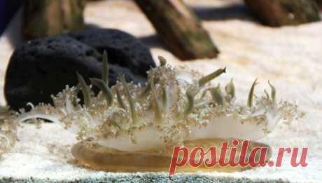 Медузы рода Cassiopea используют необычный способ самообороны Исследователи обнаружили, что некоторые медузы рода Cassiopea используют весьма интересный способ самообороны. Они научились атаковать потенциальных