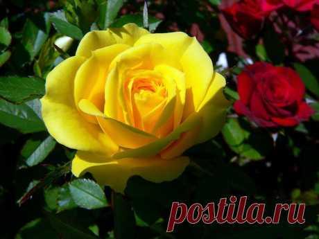 Розы скачать бесплатно, розы фото, картинки