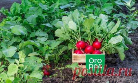 Ранние сорта редиса: что можно посадить, чтобы похрустеть уже весной   Морковь, свекла, редис (Огород.ru)