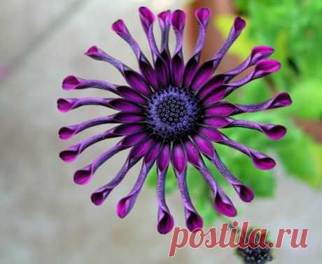 Экзотический цветок - Африканская Маргаритка.