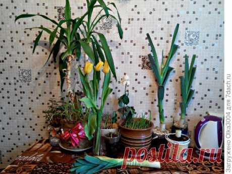 Выращиваем лук-порей из магазинного в домашних условиях. Опыт укоренения. Фото
