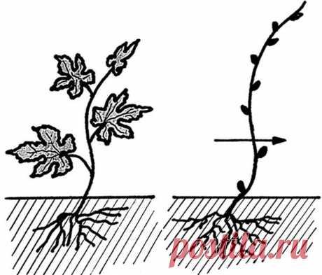 Схемы обрезки винограда по годам: с 1 по 5