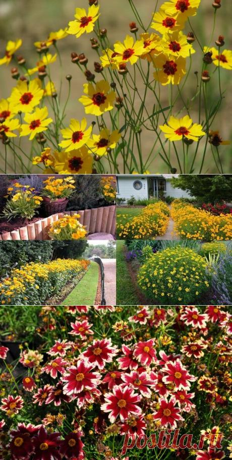 Цветок, который я каждый год сею просто на клумбу в мае, — солнечный кореопсис | Секреты Сада | Яндекс Дзен