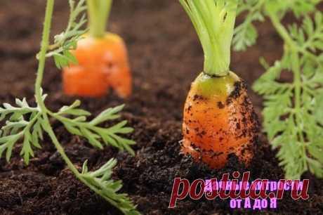Марганцовка для морковки — чудо средство!