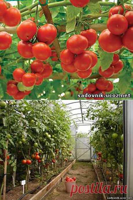 Tomato secrets of fast maturing.