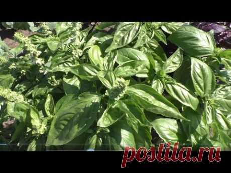 Базилик зеленый, описание, опыт выращивания.