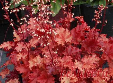 Гейхера в саду – посадка, выращивание и уход | В цветнике (Огород.ru)
