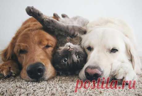7 очаровательных фото двух собак и кота, которые все любят делать вместе. Ретриверов из этой банды зовут Ватсон и Кико, а кота — Харри. И им очень нравится тусоваться вместе.