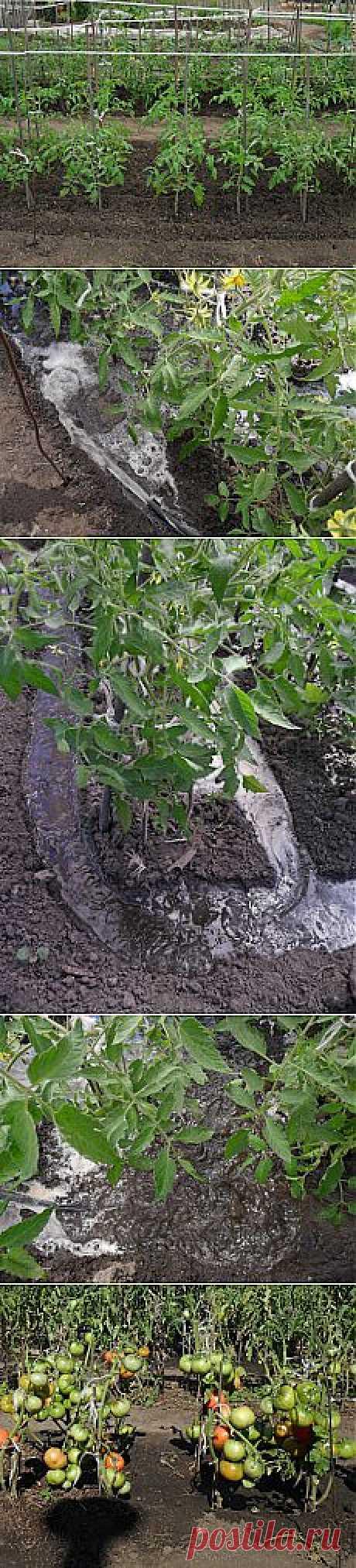 Вкусные помидоры: Полив помидоров в открытом грунте