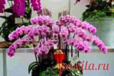Цветоводство. Орхидея-бабочка (фаленопсис)