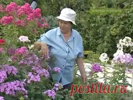 Коллекция флоксов Валентины Столяровой