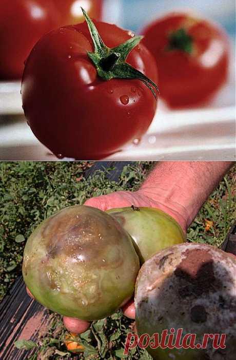 You want tomato - buy... trikhopol!.