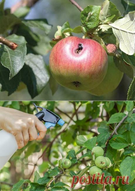 Моя Бабушка научила меня защищать Яблони от плодожорки. Эффект уже на следующий день | Домик окнами в сад | Яндекс Дзен