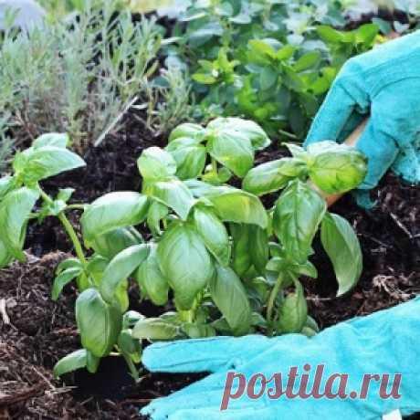 Вот что будет, если посадить базилик на одной грядке с перцем, помидорами и огурцами!