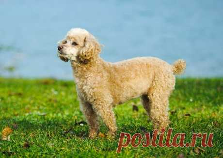 Породы собак, популярных в 90-е годы   PetTips