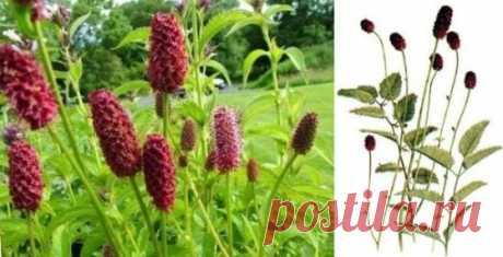 Кровохлебка лекарственная (Sanguisorba officinalis) | Рецепты народной медицины