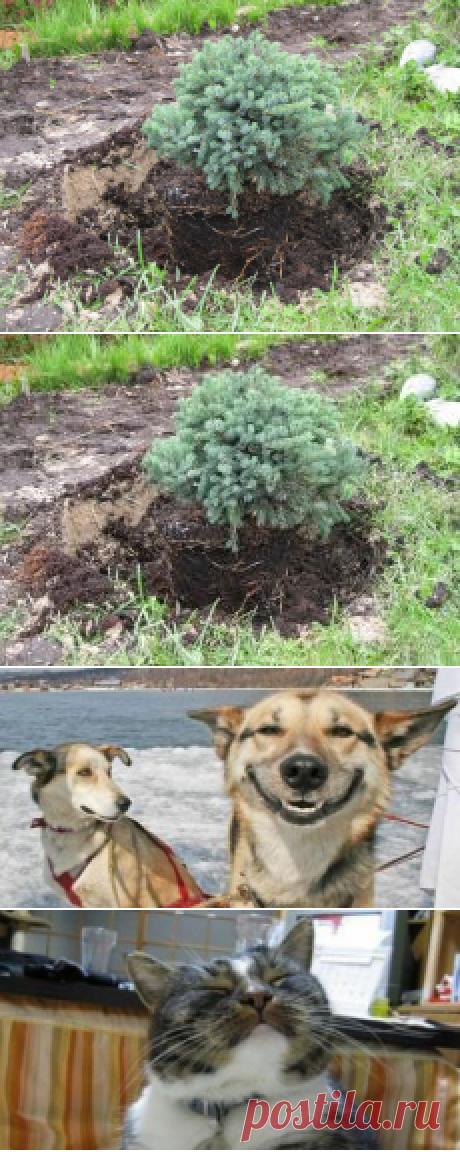 Как посадить ель осенью?