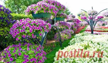 Как добиться, чтобы петуния цвела пышным цветом — Мир интересного