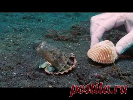Осьминожка меняет пластиковый стакан на ракушку благодаря дайверу - очень милое видео