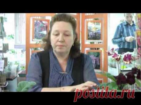 ДФ.Стрептокарпусы - подготовка к весне (Е.Павлова)