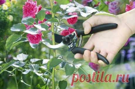 7 профессиональных советов для обрезания роз в идеальном саду