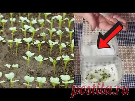 Посейте сейчас капусту на рассаду этим способом