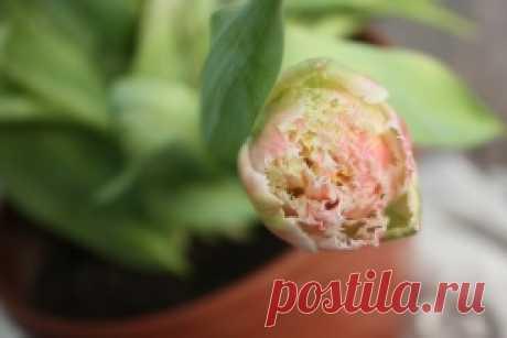 Как пересадить тюльпаны - Садоводка