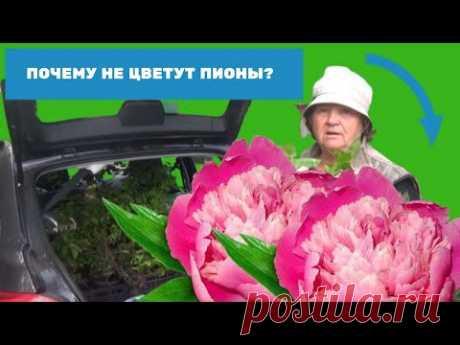 Почему не цветут пионы? Маленькие секреты выращивания пионов. - YouTube