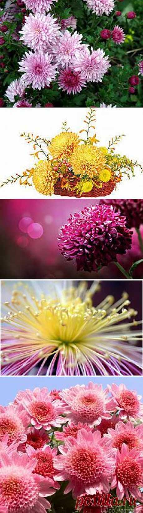 фото цветы хризантемы: