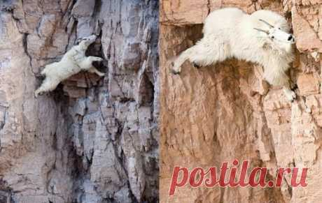Козероги: козлы на скалах, козлы на стенах