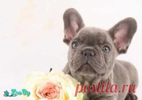 Голубой бульдог щенки купить в Минске на сайте объявлений